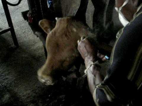 WARNING: GRAPHIC CONTENT: Animal Cruelty - Cheek branding
