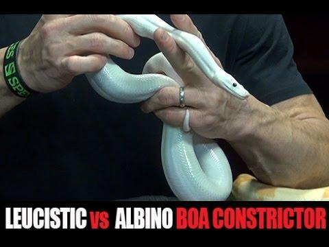 Leucistic vs Albino Boa Constrictor