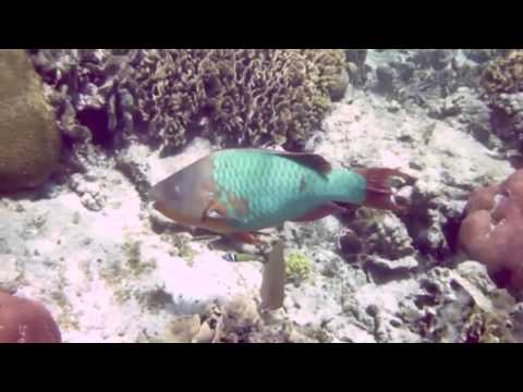 Rainbow ParrotFish Munching On Coral
