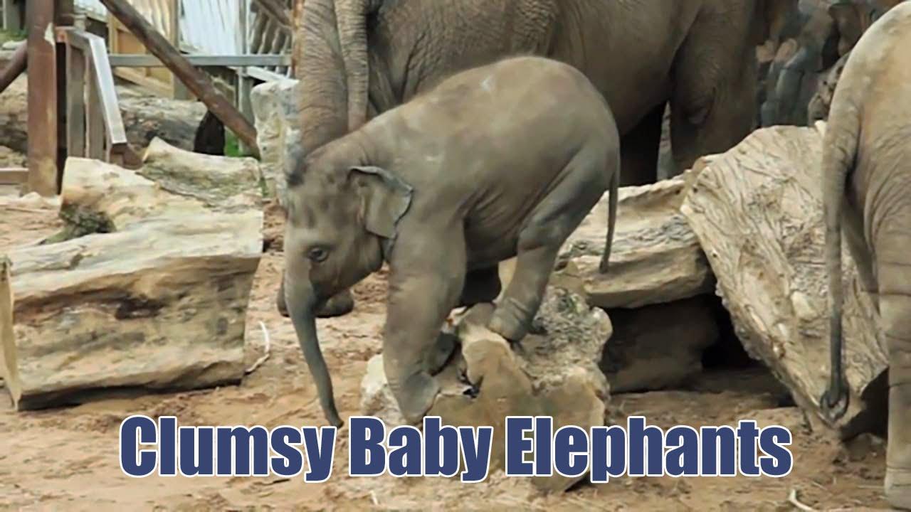 clumsy baby elephants youtube