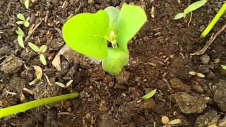 زراعة فول الصويا  | في المنزل |