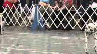 Dalmatian -pointer Outcross - Low Uric Acid Dogs