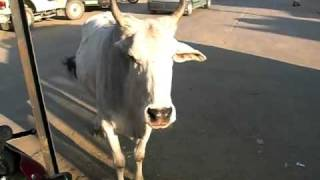 Holy Cows Wander The Busy Streets Of India