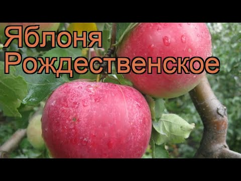 Яблоня обыкновенная Рождественское (malus) 🌿 обзор: как сажать, саженцы яблони Рождественское