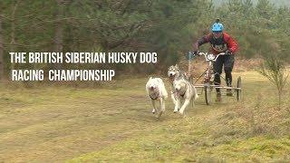 British Siberian Husky Dog Racing Championship