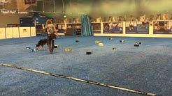 Mokka epävirallisissa NoseWork ykkösluokan kokeessa laatikkoetsintä. ShowHau Center, Vantaa 04.07.16
