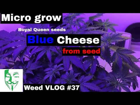 Micro grow: Blue Cheese LOW STRESS training (LST) Growing in a small space Weed VLOG #37