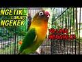 Pancingan Love Bird Ngetik Ngekek Panjang Yang Lain Pun Bisa Mengikuti  Mp3 - Mp4 Download