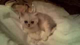 Персидские и экзотические котята окрас шиншилла
