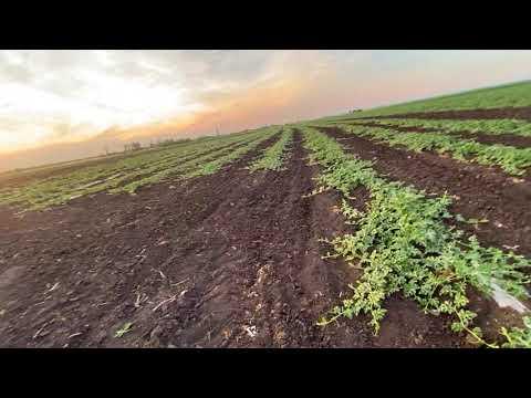 Обзор суходола без единого дождя. Выращивание бахчи