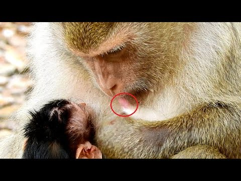 Very best mother monkey Brianna clean her Nipple before give baby Bronco breastfeeding