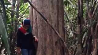 Pohon Jati lingkaran 315cm