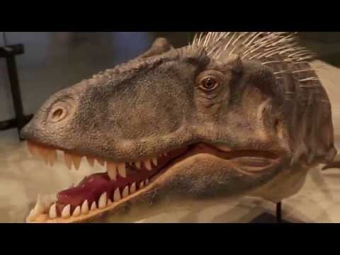 Lythronax argestes walk around at the Utah Natural History Museum