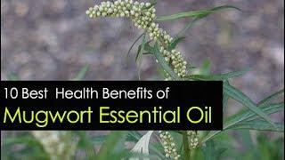 10 Mugwort Essential Oil Benefits