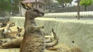 カンガルー かわいい おもしろ動物 20秒~choo choo train?