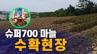 슈퍼 700 마늘 수확 현장