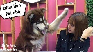 Chó Mật nổi điên cãi nhau với chủ vì bị bắt nạt - Mật Pet Family