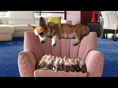 Funny mama dog running around to wean her puppies- Cute dog video