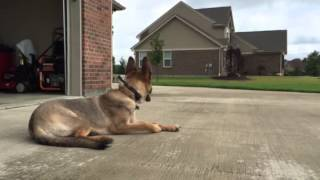 "German Shepherd Bella On ""down"" At Cincinnati Dog Trainers Off Leash K9"