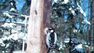 Downy Woodpeckers Attack Suet