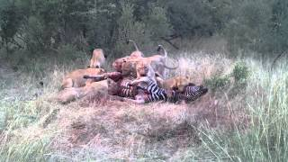 lions killing zebra in the timbavati game reserve part 2