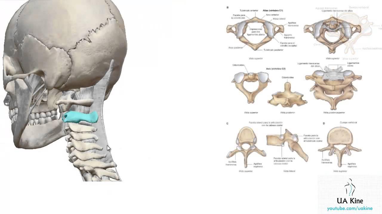 Anatomía - Vertebras Cervicales - Atlas, Axis - Uakine - YouTube
