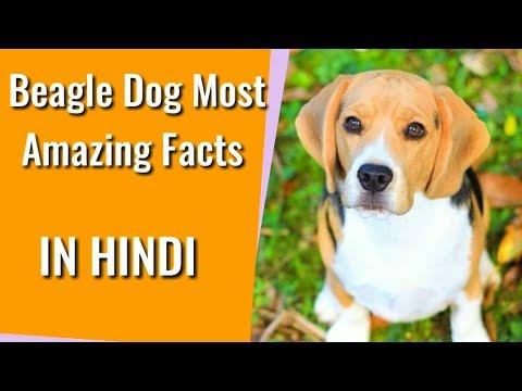 Beagle Dog Fact | Beagle Dog Fact In Hindi | Beagle Dog Amazing Facts| Dog channel