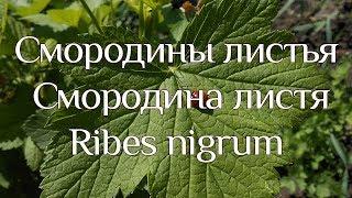 Смородина чорна (листя). Ribes nigrum