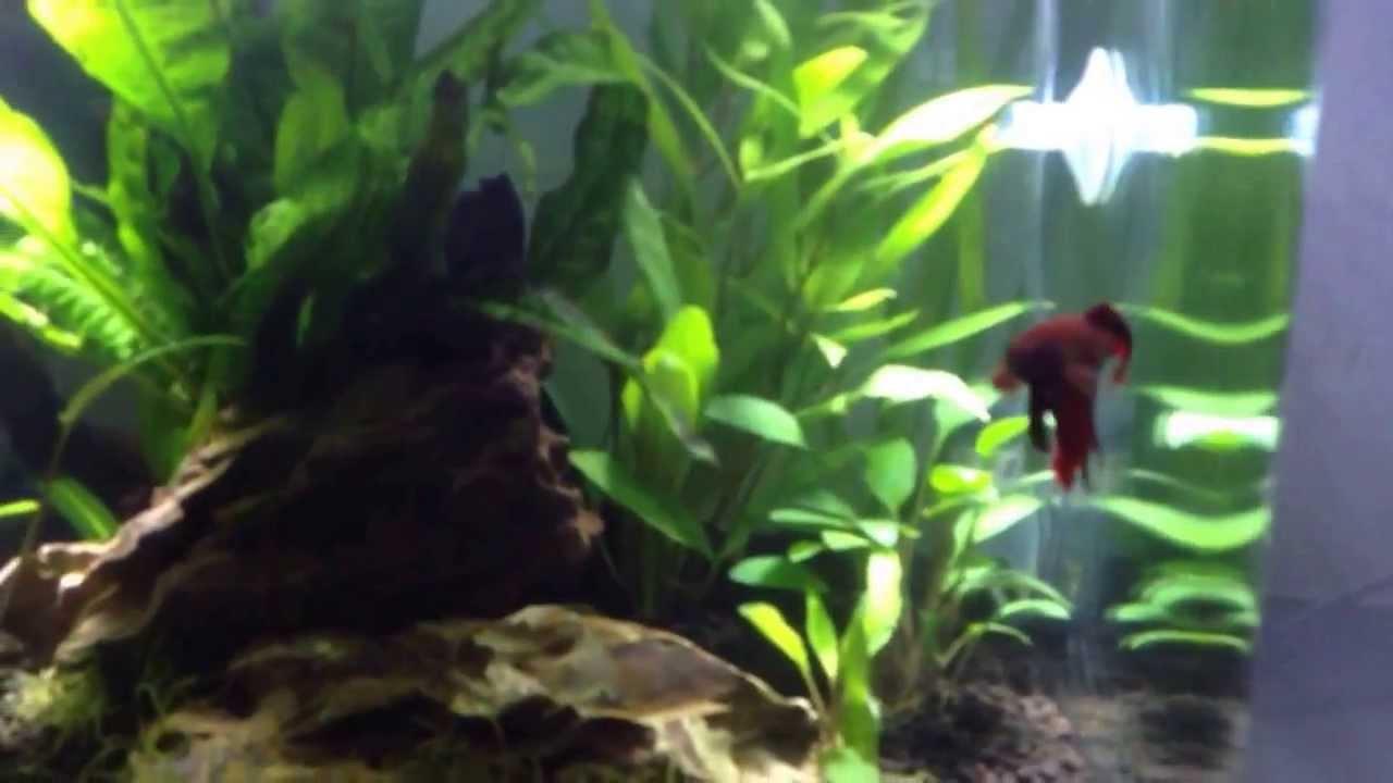 il mio nano acquario betta splendens con 2 octociclus con varie ... - Allestimento Acquario Per Betta Splendens