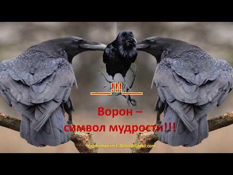 ___!!!___Черный ворон -- символ мудрости___!!!___