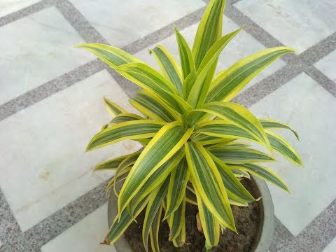 Song of India Plant (Dracaena Reflexa) (Hindi) - How to Grow & Care Song of India Plant