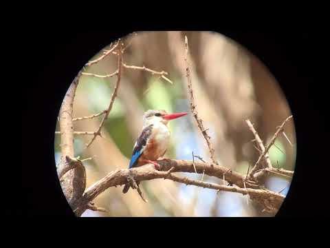 Grey-headed Kingfisher, Halcyon Leucocephala