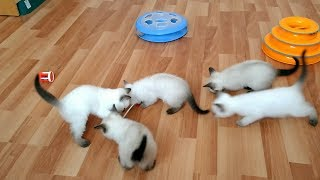Прямая трансляция пользователя: папа Калиостро навестил котят! Тайские кошки - это чудо! Funny Cats