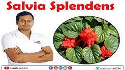 Salvia splendens plant | scarlet sage