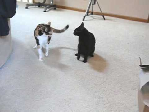 Star Trek Cat Fight - Which one's Spock?