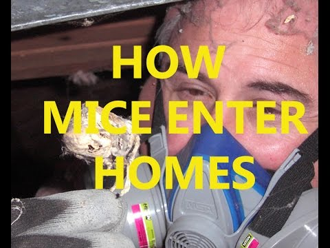 How mice enter homes