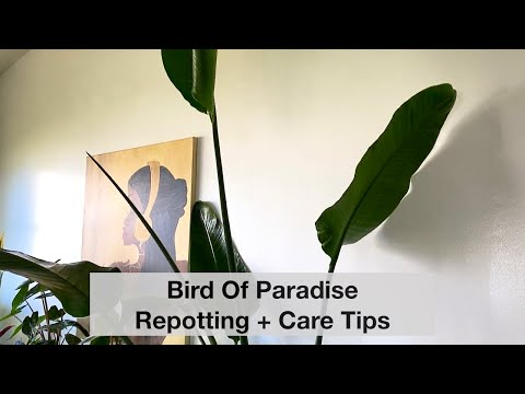 Bird Of Paradise Re-potting + Care Tips