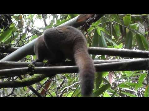 Madagascar 151 golden bamboo lemurs