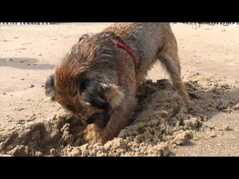 BORDER TERRIER JACK at the beach