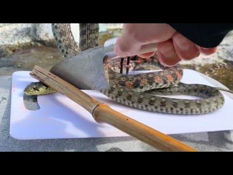 【蛇の捌き方】日本最強の毒蛇に遭遇したので捕まえて食べた。