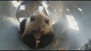 "Медведя-воришку ""депортировали"""