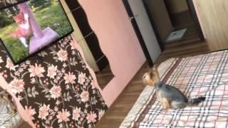 Йорк смотрит телевизор. Передача про кошек))) жесть смешно)))