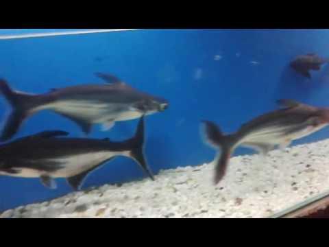 Black Shark Fish Fresh Water Fish Tank In India Part 2 Youtube