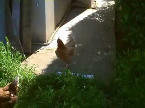 Gara di corsa di galline