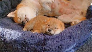 3 Weeks Old Shiba Inu Puppies