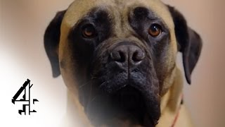 Dogs: Their Secret Lives | Tonight, 10pm | Channel 4