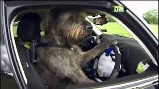 Rescue Dogs Taught How To Drive A Car In New Zealand - Video