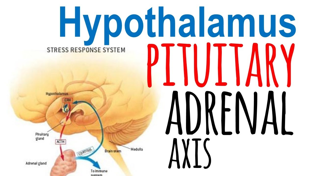 Hypothalamic Pituitary Adrenal Axis Hpa Axis Youtube