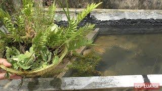 Trồng cây thủy sinh vào hồ cá lia thia và bảy màu mới làm