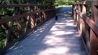 Lab And Poodle Mix Dog Afraid Of Bridge